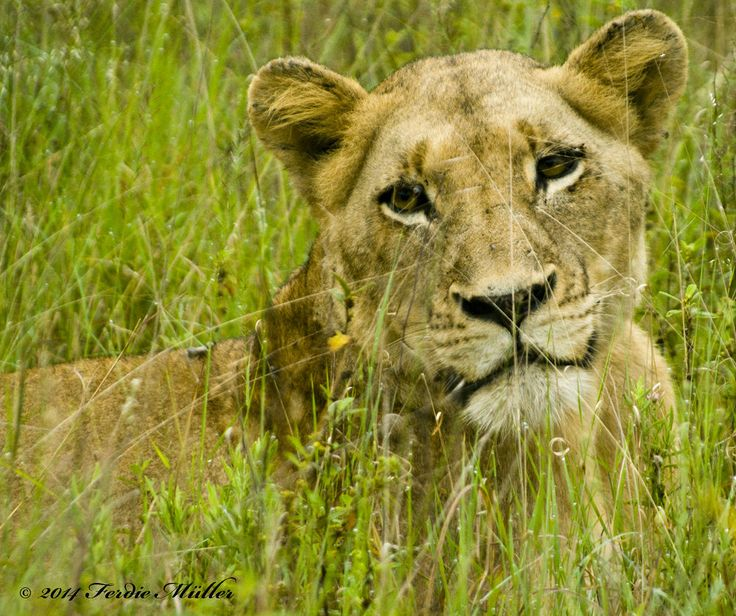 Hiding in the long grass by Ferdie Muller