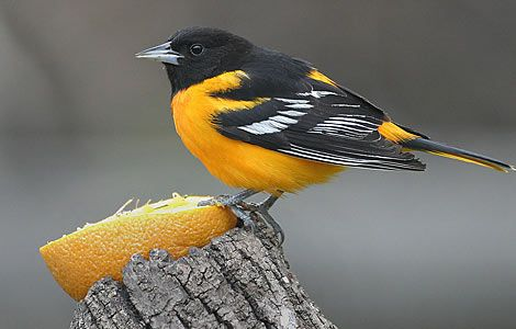 Baltimore Oriole - put out some oranges in the spring to attact them to your yard. mine have been coming back every year. they also love grape jelly. It's fun to watch the adults feed the babies at the feeder. show up end of April for me.