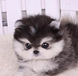 Micro Husky Teacup