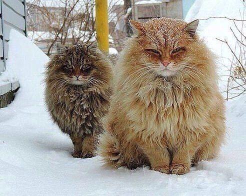 Деревенские коты серьезные ребята