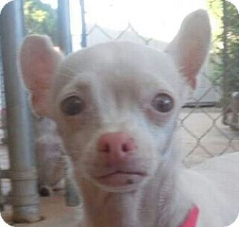 ★11/8/14 SL★Phoenix, AZ - Chihuahua. Meet PJ - albino, a dog for adoption. http://www.adoptapet.com/pet/11866445-phoenix-arizona-chihuahua