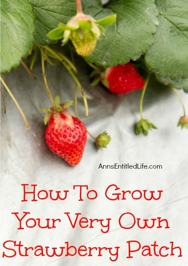 How To Grow Your Very Own Strawberry Patch; If you love the fresh taste of strawberries, why not grow your own strawberry patch? You won't believe how much better fresh strawberries straight from your garden will taste over commercially grown strawberries. They are berry, berry good! http://www.annsentitledlife.com/how-does-your-garden-grow/how-to-grow-your-very-own-strawberry-patch/