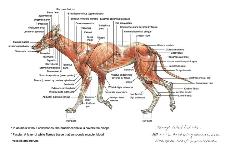 Wolf Skeleton Diagram Wolf muscle diagram