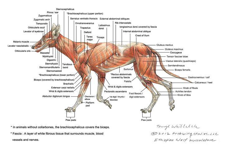 Wolf Skeleton Diagram Wolf muscle diagram