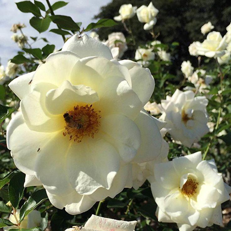 New Farm Park Rose Gardens- White Rose