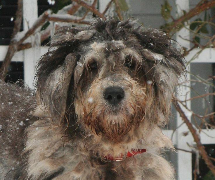 Ein Bergamasker Hirtenhund