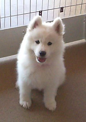 siberian samoyed with siberian husky pup | Samoyeds Pictures Page 1