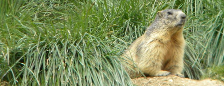 Le Marmotte in primavera si risvegliano dal lungo letargo invernale e non è difficile incontrarle #Queyras