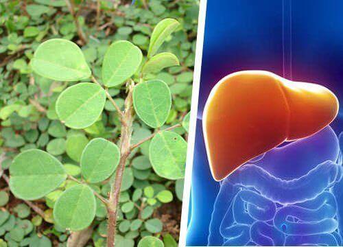 Desmodium adscendens is een plant die op wonderbaarlijke wijze je lever zal vernieuwen en herstellen en onder meer werkt bij allergie en hepatitis.