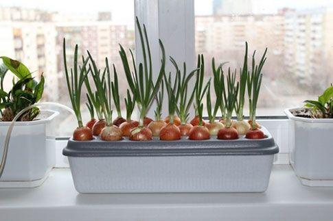 Выращивание лука на подоконнике зимой