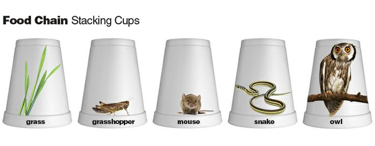 Food Chain game out of styrofoam cups! Just glue images on to your cups and write the name of the organism on the rim. Mix them up, have kids put them in order, and stack them!    If you have older students, and are working with more complex wood webs, have kids stack cups in a pyramid shape, rather than nested.