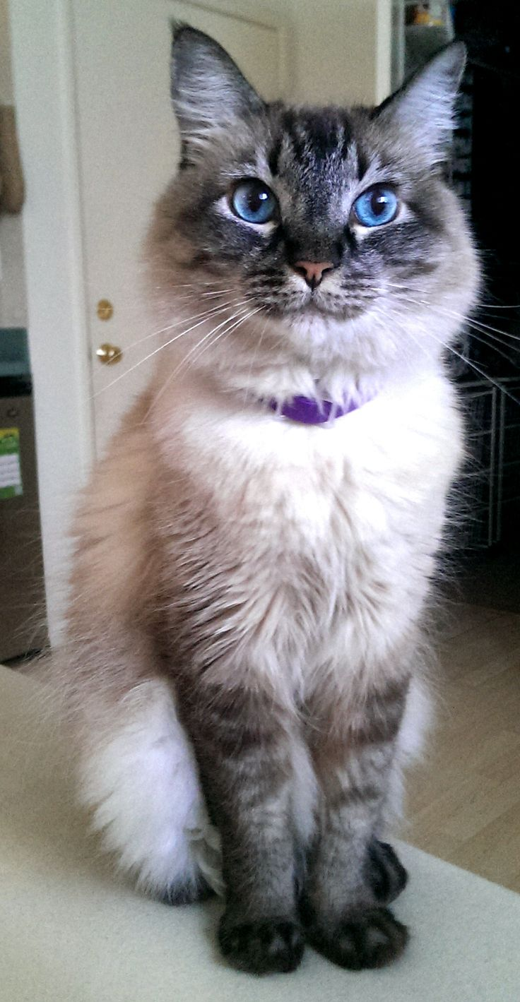 Half Himalayan, half Siamese. animals Pinterest Cats