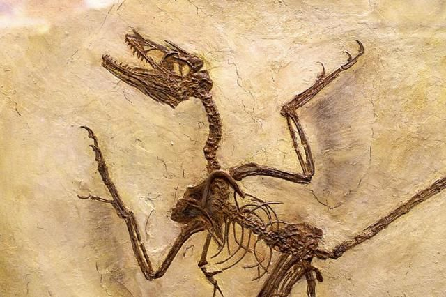 Meet Microraptor, the World's Smallest Dinosaur: Microraptor Is Known From Hundreds of Fossil Specimens