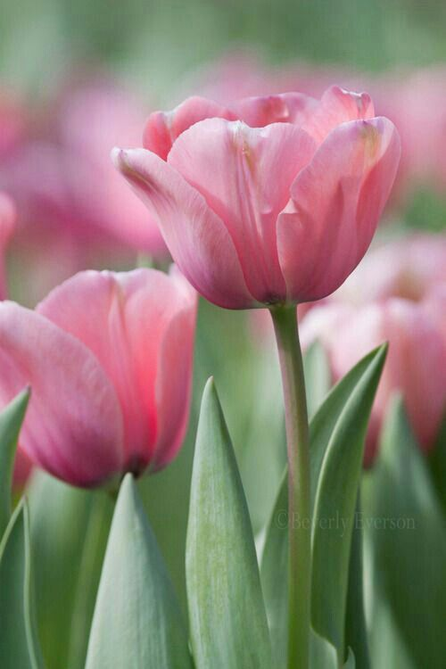 Pink Tulips ~