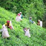 Jak se očekávalo, následky sucha v Assamu jsou citelné. Výkupní cena se již zvýšila, kvalita je naopak ohrožena. Vše snad vynahradí druhá sklizeň, obavy ale přetrvávají...