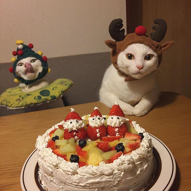 Merry Christmas✨✨② ハッチャン!マジメにして〜!w 生クリームが足りんくて、所々スポンジ透けとるガッサガサの雑w #八おこめズラ #クリスマス #クリスマスケーキ #八おこめ #ねこ部 #cat #ねこ #八おこめ食べ物