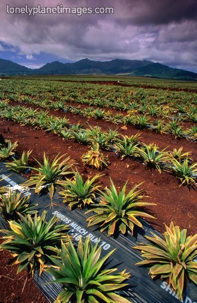 Dole Pineapple Field, Oahu. I remember driving past these every weekend heading…