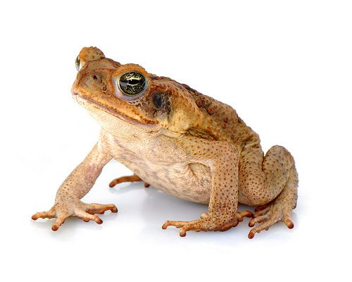 Cane toads have over the past 85 years become a problem in Australia. Originally native to South America, some of the toads were captured an...