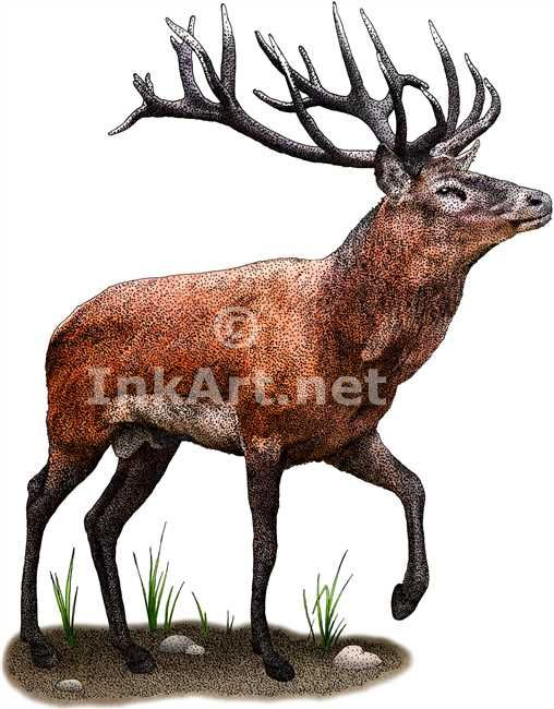 Full color illustration of a Red Deer (Cervus elaphus)
