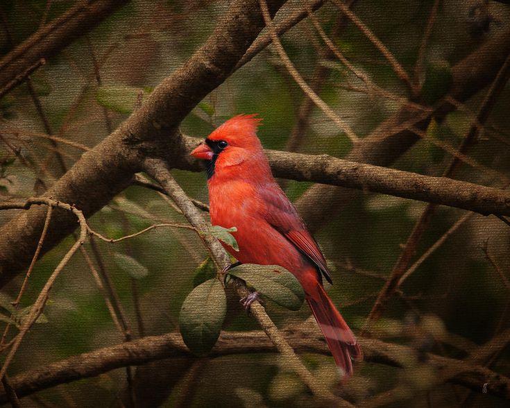 Song Of The Redbird 1 Photograph  - Song Of The Redbird 1 Fine Art Print