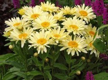 Leucanthemum x superbum 'Banana Cream' est une plante de vie courte au port buissonnant érigé au feuillage caduc à persistant selon le climat. Le feuillage est vert foncé. Les fleurs sont semi-doubles, présentes sous forme de grands capitules jaune à l'ouverture puis crème au cœur jaune d'environ 10cm à 12cm de diamètre porter par un long pédoncule (tige qui porte la fleur). Enlever les fleurs fanées pour prolonger la fleuraison et la vie de cette plante