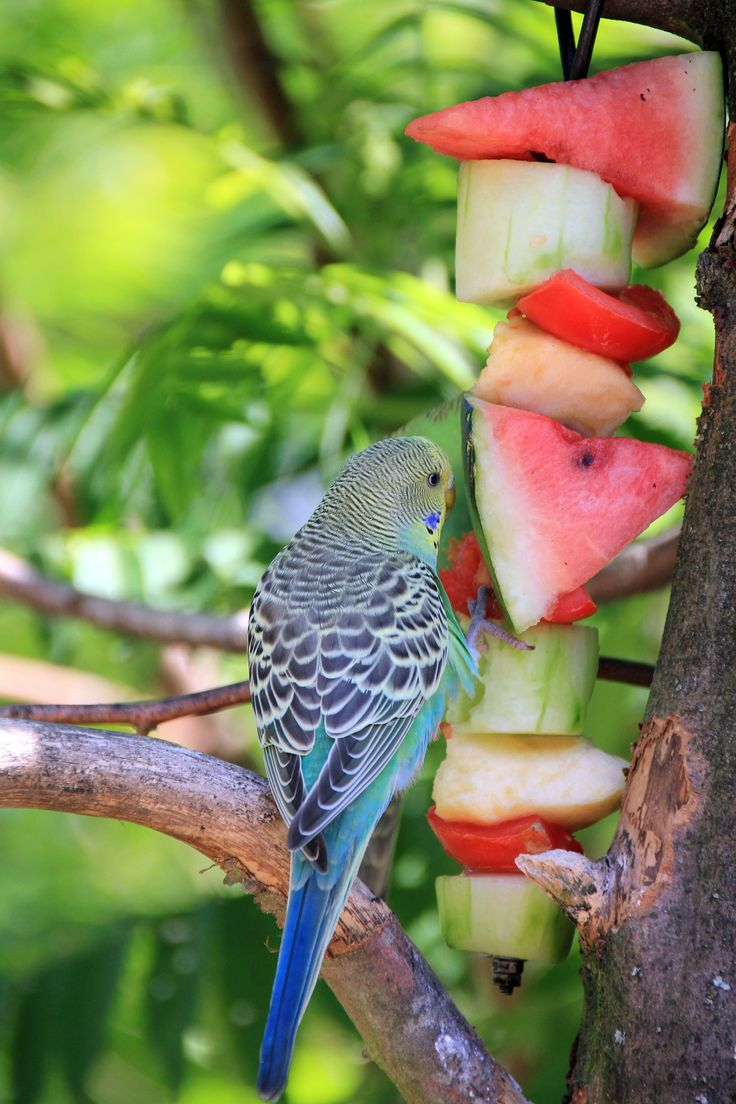 The Healthiest Diet for Parakeets/Budgerigars