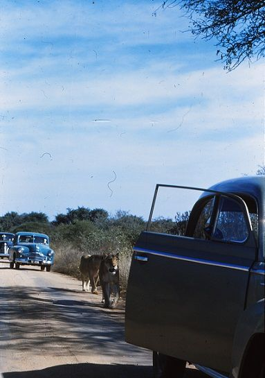 A lion and an open door (quickly to be shut). Kruger park in the 1950's. Picture Osmo Vartiainen.