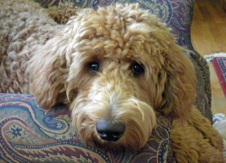 Darcy the Goldendoodle with a great haircut!
