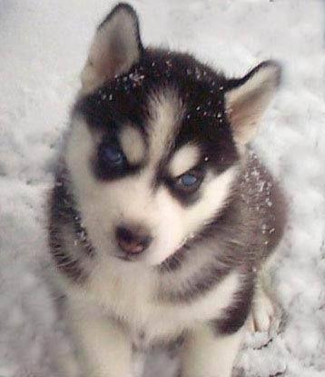 chien husky | Photo de Zia, chien Husky sibérien