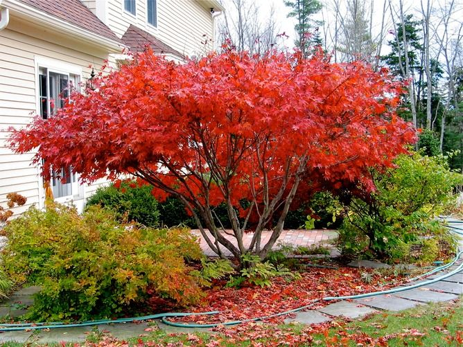 17 best images about dwarf japanese maple on pinterest for Japanese trees for landscaping