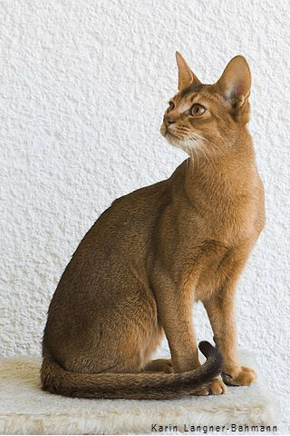Abysinnian - one of the oldest breeds of cat.