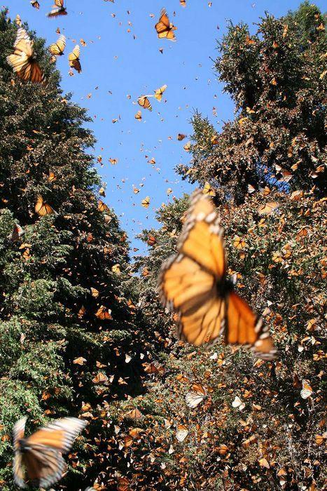 Santuario mariposa monarca, El Rosario, Michoacan, MEXICO.