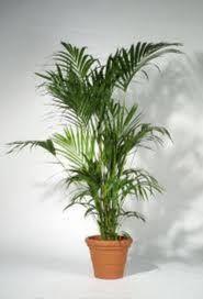 palmeras de interior <3 <3 <3