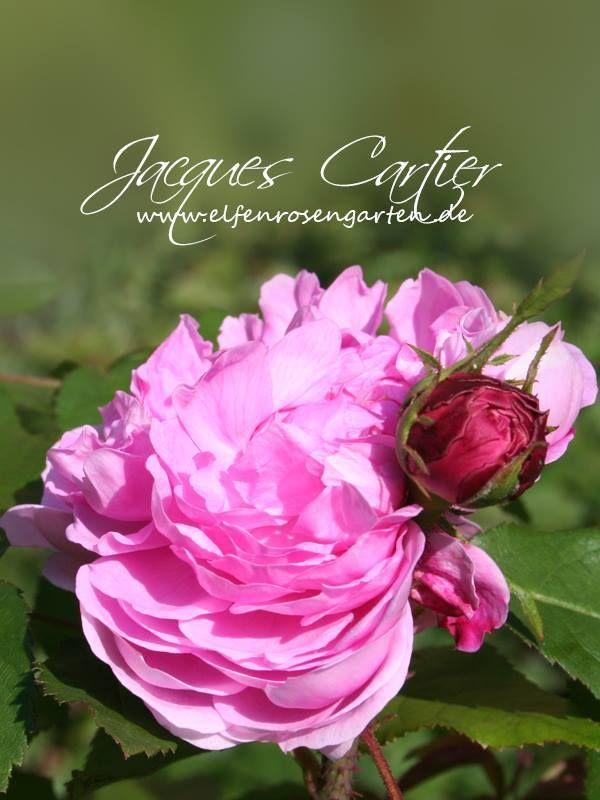 (3/4) Wenn es eine Liste der dankbarsten historischen Rosen gäbe, wäre 'Jacques Cartier' (Moreau-Robert, 1868) bestimmt ganz vorne mit dabei. Ihre umwerfend duftenden, romantischen Blüten in leuchtend Rosa sind stark gefüllt mit kurzen, gewellten Petalen und meist geviertelt. Übrigens, oft wird sie auch unter dem Synonym 'Marquesa Bochella' gehandelt.