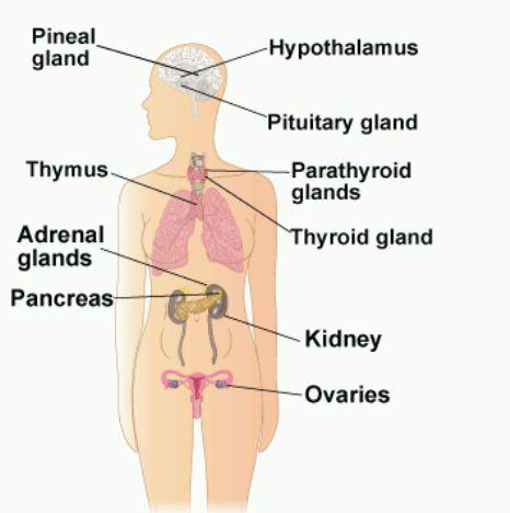 Endocrine System   Positive Healthcare
