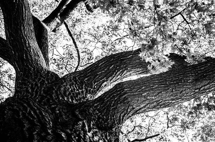Olga Olay Photograph - Looking Up   by Olga Olay #OlgaOlayFineArtPhotography #ArtForHome #FineArtPrints #Bag #blackandwhite #tree