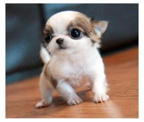 Apple head Chihuahua!                                                                                                                                                                                 More