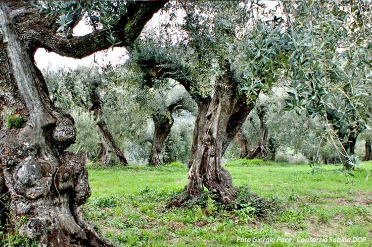 Old Olive trees in the Sabine, near Fara in Sabina