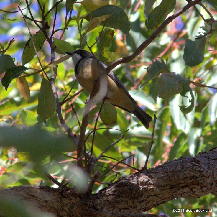 Rufous Whsistler (male) - Mundaring, Western Australia - ©2014 Scott Buckland