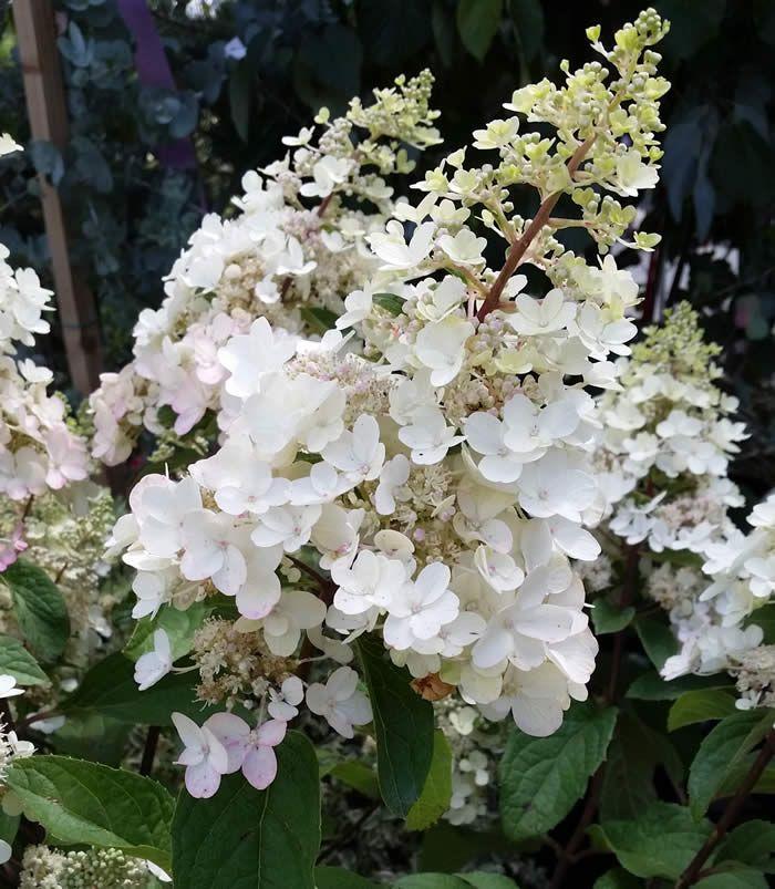 Hydrangeas for small gardens - Hydrangea Paniculata Pinky Winky