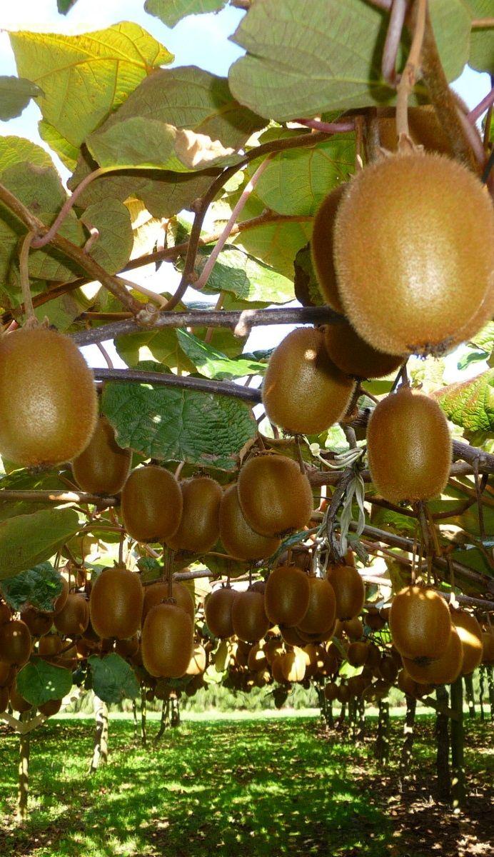 Kiwifruit orchard, Bay of Plenty, New Zealand