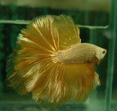 golden betta - Startpage Picture Search