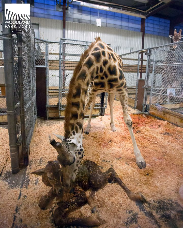 Giraffe Tufani gave birth at Woodland Park Zoo on June 20, 2017. Proud Papa is Dave....Cam will be on after 72 hours !!
