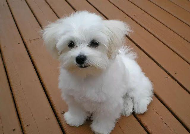 8 Best Dog Breeds That Don T Shed The Buzz Land Malteser Hund Kaufen Malteser Und Hunde Erziehen