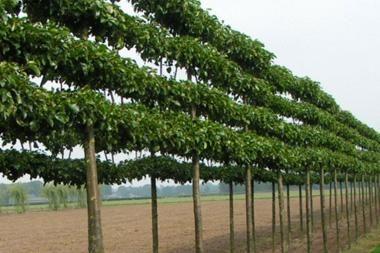 Pyrus cal. 'Chanticleer'  Pyrus calleryana Chanticleer ist eine Zierbirne die sehr gut für den Garten geeignet ist und sich einfach als Spalierobst pflanzen lässt. Dieser Baum hat keine Probleme mit Stadtluft und bleibt relativ schmal, so dass er auch in kleinen Gärten gedeiht.