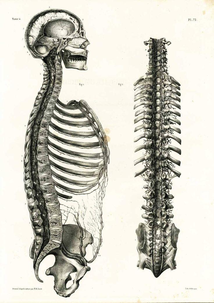 1836 Colonne Vertébrale Rachis Thoracique Vertèbres Dessin Planche Anatomique Bourgery, Poster Anatomie Médecine de la boutique sofrenchvintage sur Etsy