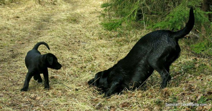 labradorinnoutajat maastossa