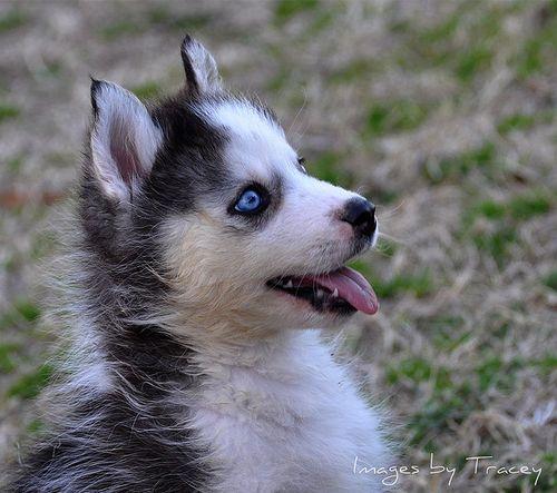 siberian husky puppy   Tumblr