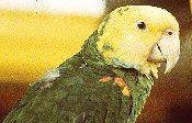 pet birds parrots exotic bird parrot pets articles FAQs care breeding species