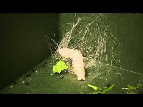 Silkworms Timelapse - YouTube